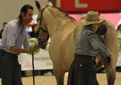 Linda Tellington-Jones doing Tail TTouches on one of Frederic Pignon's horses.