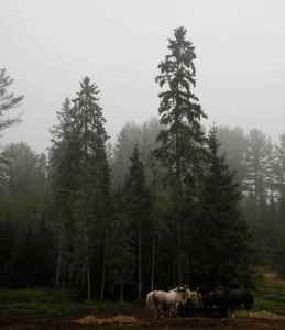 Dawn is Jean's favorite time. Here the South Algonquin Trail horses have breakfast in the morning fog.