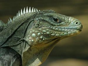 60465_lizard-face