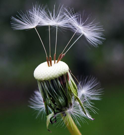 close-up-photography-of-white-dandelion-seed-101538
